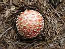 Amanita muscaria - foto di Nicola Daraio per ingrandire le foto cliccare sulla miniatura (565 Kb)