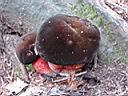 Boletus erythropus - foto di Nicola Daraio per ingrandire le foto cliccare sulla miniatura (566 Kb)