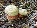 Boletus satanas - foto di Paolo Caciagli per ingrandire le foto cliccare sulla miniatura (736 Kb)