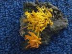 Calocera viscosa - foto di Lorenzo Segalotto per ingrandire le foto cliccare sulla miniatura (702 Kb)