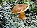 Gyroporus castaneus - foto di Giancarlo de Carolis per ingrandire le foto cliccare sulla miniatura (666 Kb)