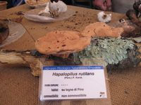 Hapalopilus rutilans - foto di Lorenzo Segalotto per ingrandire le foto cliccare sulla miniatura (700 Kb)