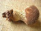 Lycoperdon echinatum - foto di Lorenzo Segalotto per ingrandire le foto cliccare sulla miniatura (598 Kb)