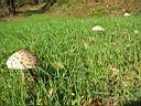 Macrolepiota procera - foto di Lorenzo Segalotto per ingrandire le foto cliccare sulla miniatura (675 Kb)