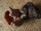Peziza badia - foto di Lorenzo Segalotto per ingrandire le foto cliccare sulla miniatura (598 Kb)