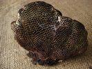 Scenidium nitidum - foto di Lorenzo Segalotto per ingrandire le foto cliccare sulla miniatura (602 Kb)