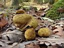 Scleroderma citrinum - foto di Paolo Caciagli per ingrandire le foto cliccare sulla miniatura (649 Kb)