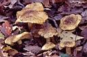 Tricholoma equestre - foto di Paolo Caciagli per ingrandire le foto cliccare sulla miniatura (462 Kb)