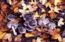 Tricholoma terreum - foto di Paolo Caciagli per ingrandire le foto cliccare sulla miniatura (837 Kb)