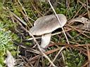 Tricholoma terreum - foto di Maria Letizia Fanciullacci per ingrandire le foto cliccare sulla miniatura (636 Kb)