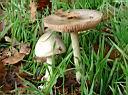Volvariella gloiocephala - foto di Paolo Caciagli per ingrandire le foto cliccare sulla miniatura (601 Kb)
